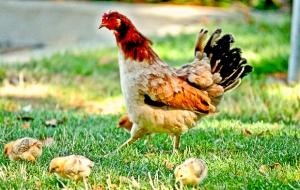The Chickens of Yuba City